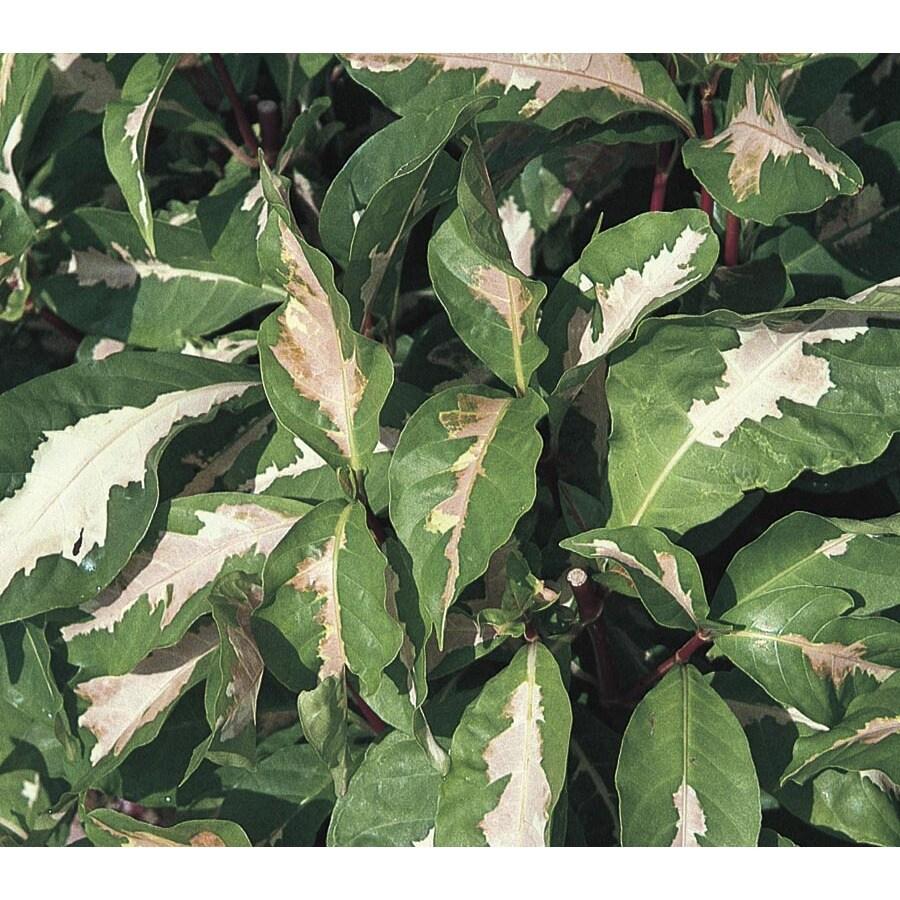 2.5-Quart Graptophyllum (L24472)