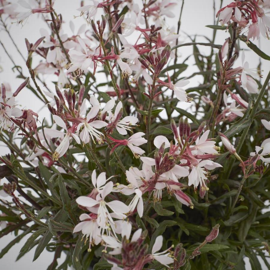 1-Gallon Gaura (L8859)
