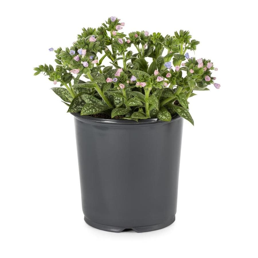 1-Gallon Longleaf Lungwort (L5677)