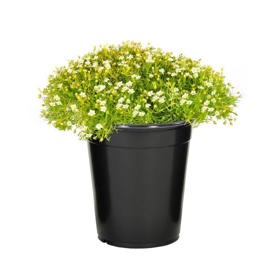 1-Pint Irish Moss (LW04022)
