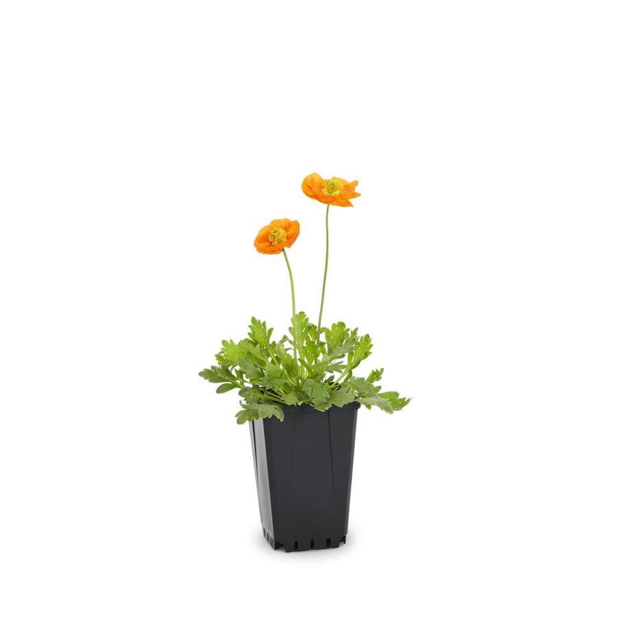 1-Quart Oriental Poppy (L6366)