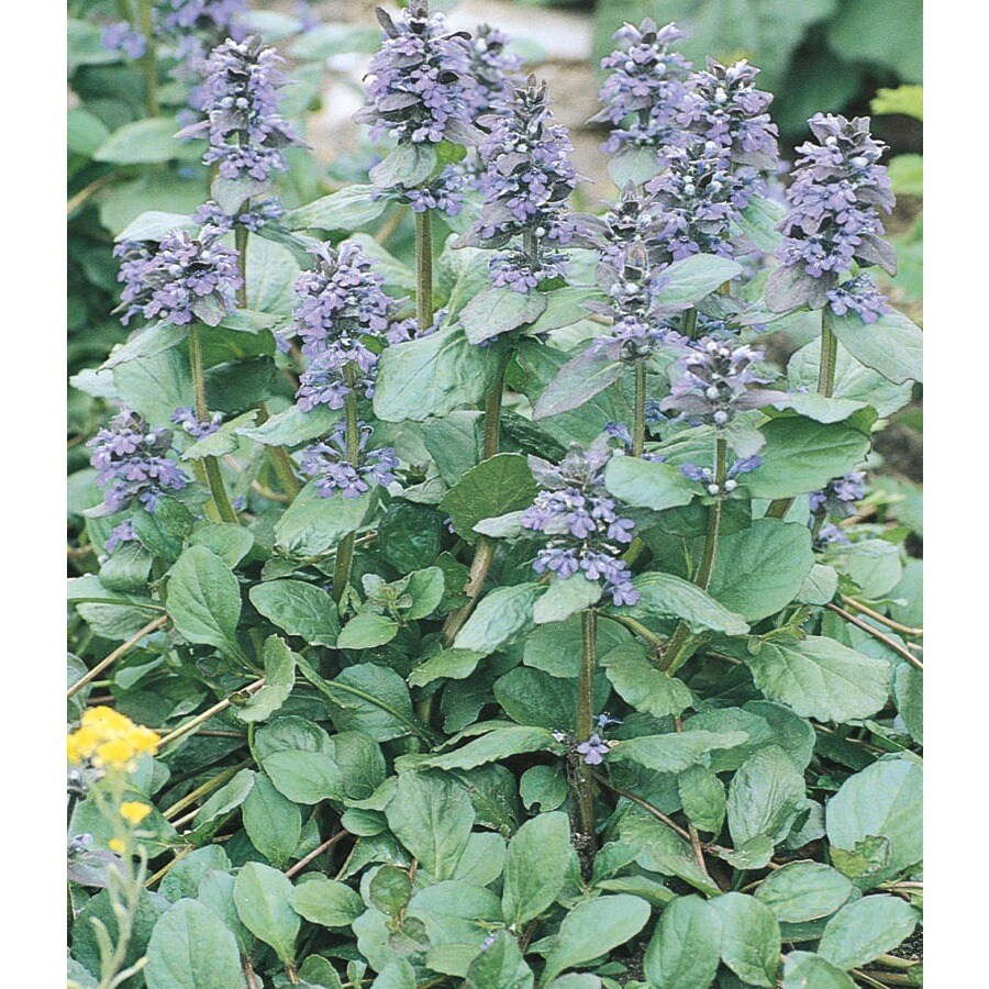 1-Quart Carpet Bugleweed (L16614)