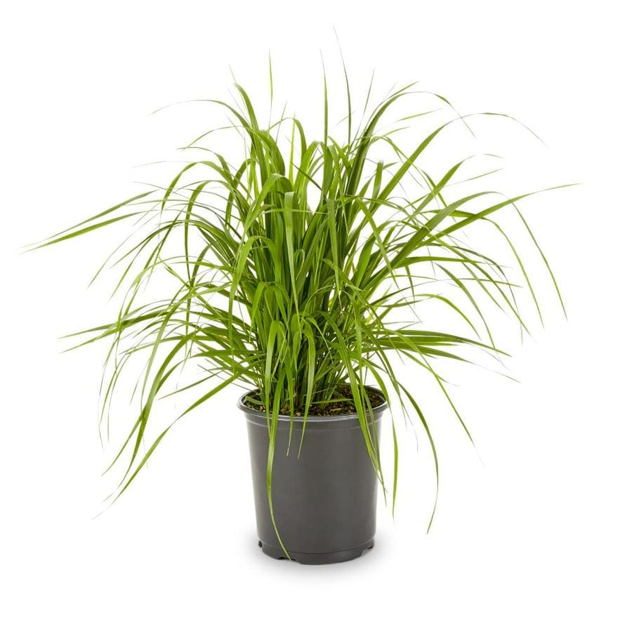 2.5-Quart Feather Reed Grass (L24894)