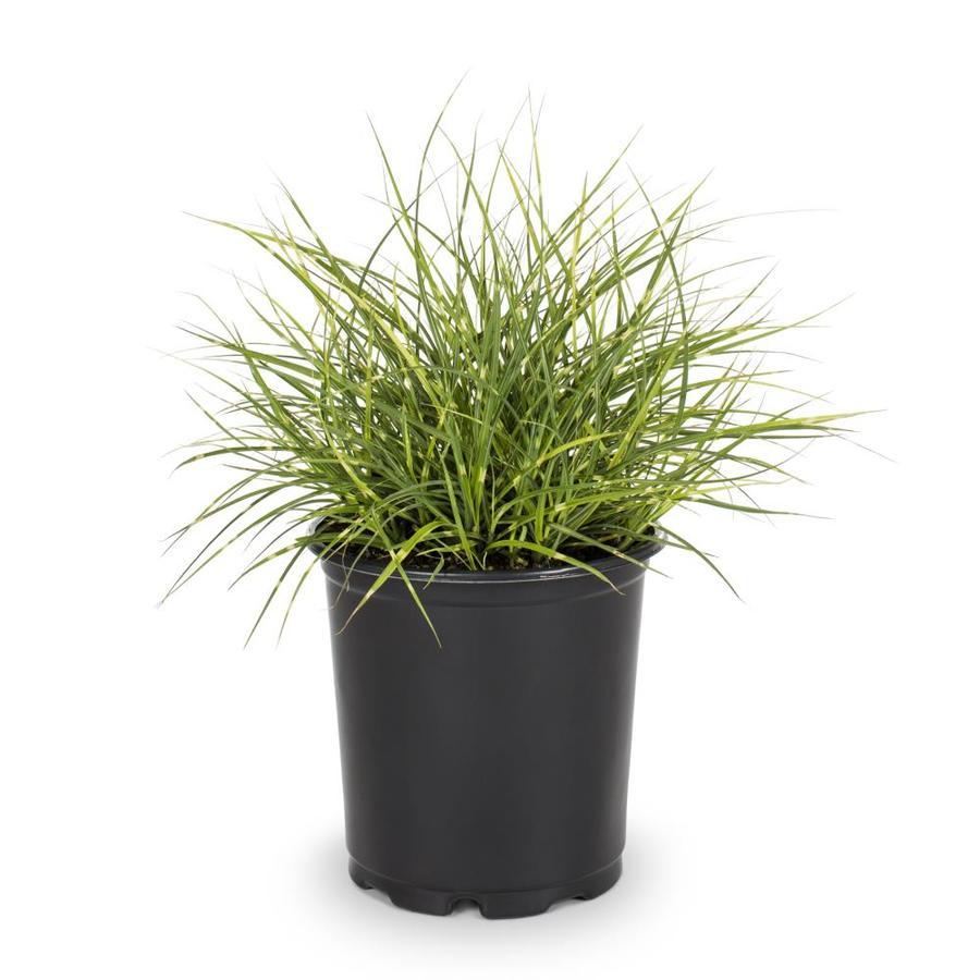 2.5-Quart Eulalia Grass (L3912)