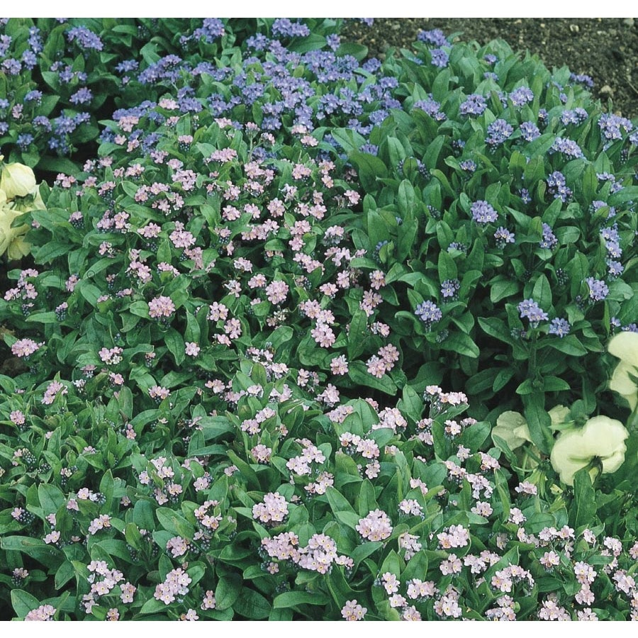 2.5-Gallon Forget-Me-Not (L24888)
