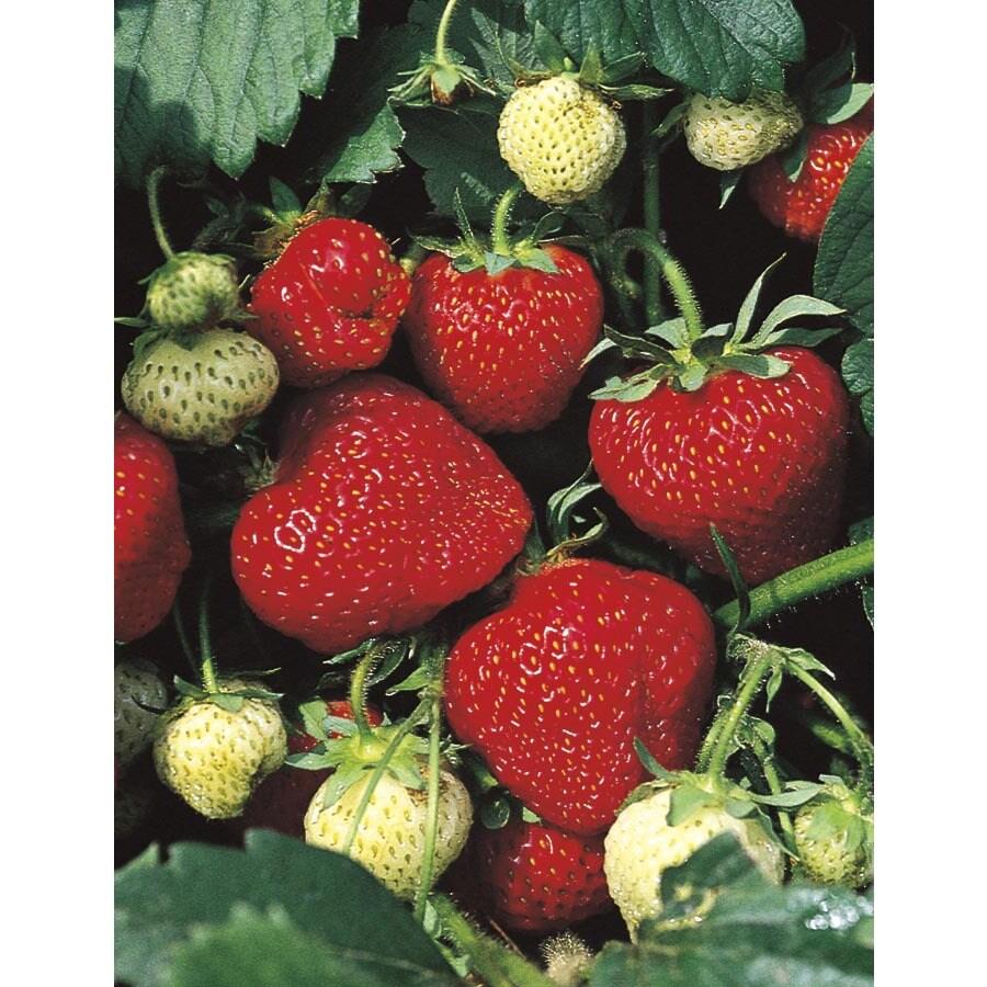 6-Pack Strawberry (L24887)