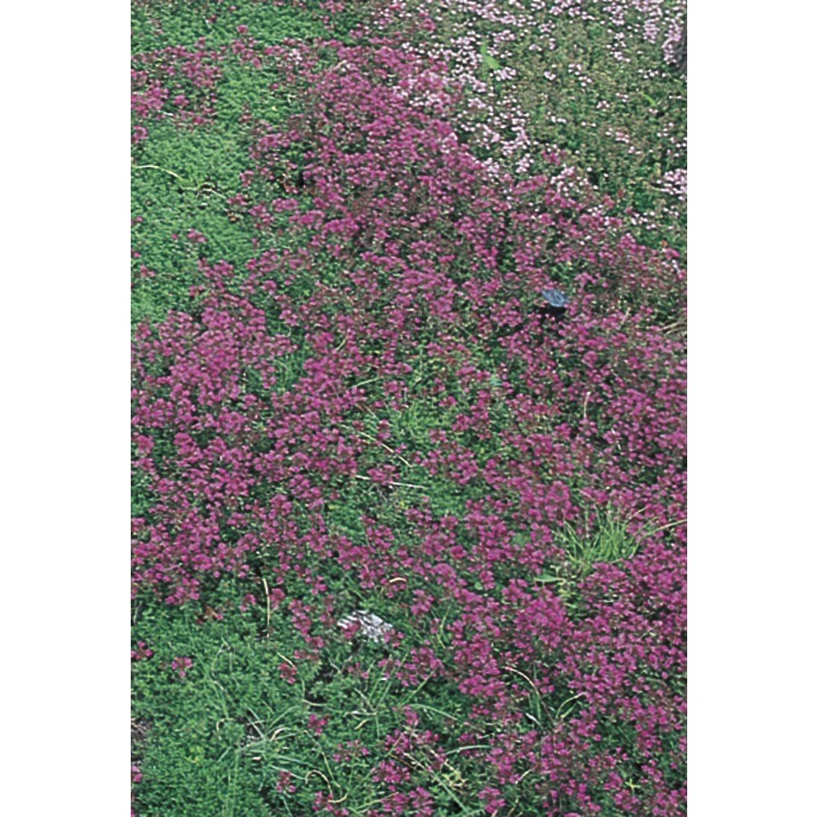 6-Pack Creeping Thyme (L2902)