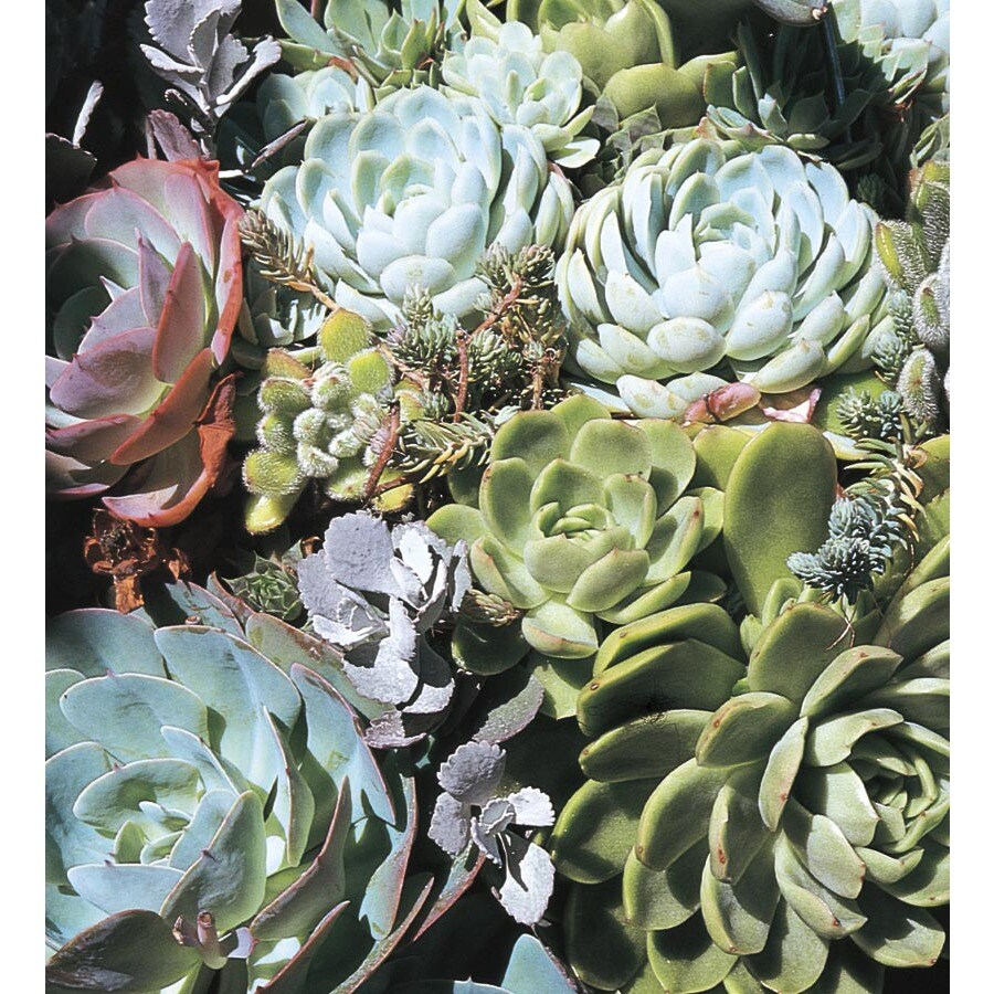 9-Pack Hardy Hens and Chicks (L24889)