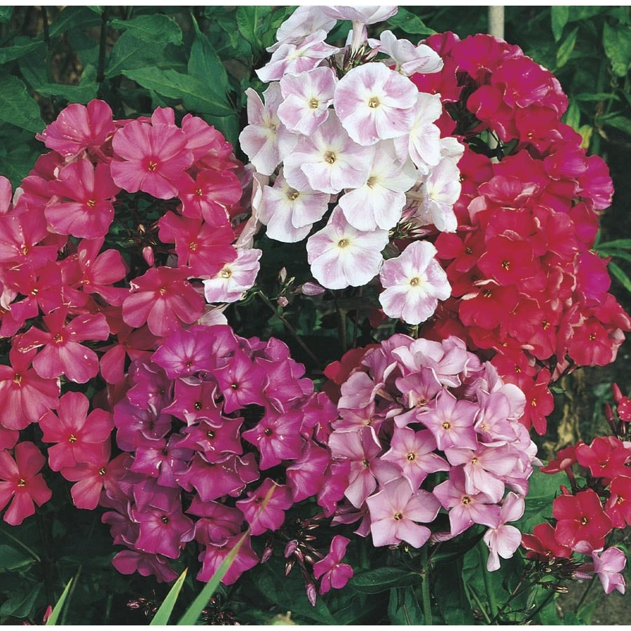 2.71-Quart Garden Phlox (L6680)
