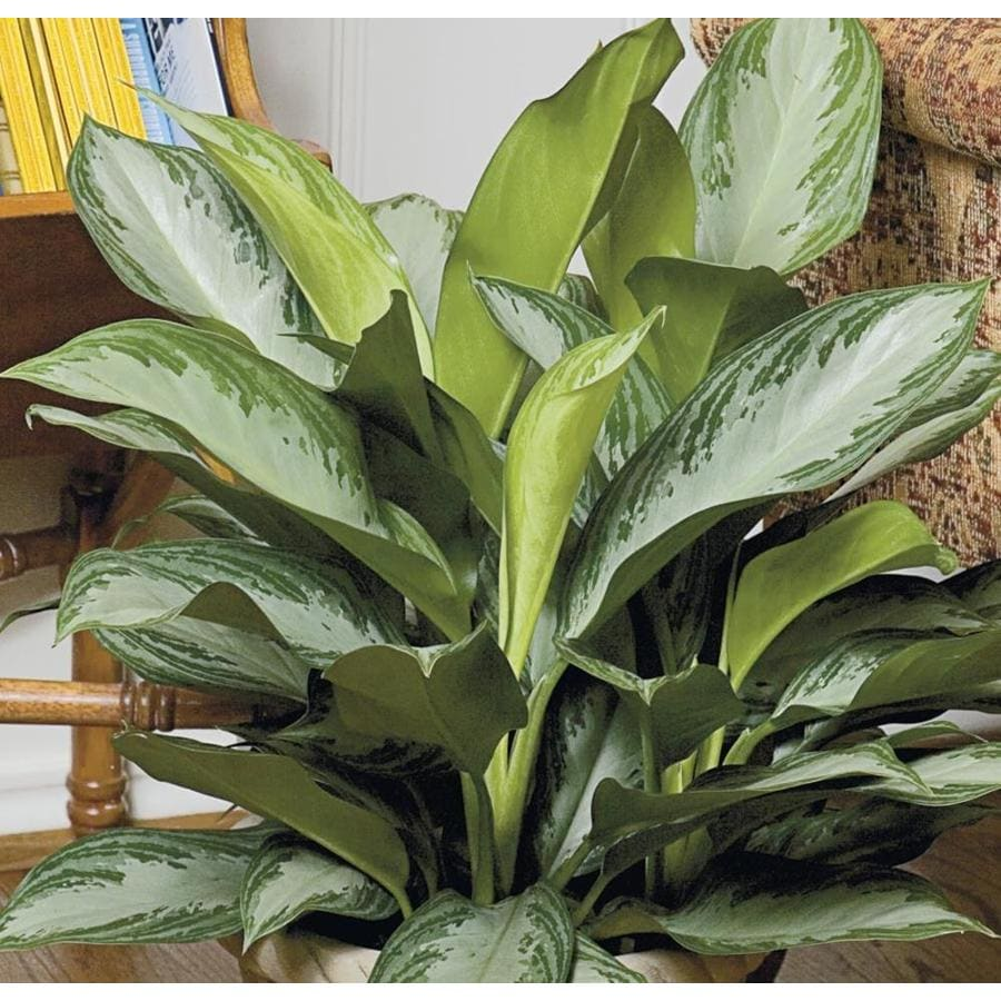 2.25-Gallon Aglaonema (L20910HP)