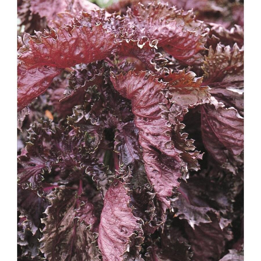 3-Quart Beefsteak Plant (Lw02609)