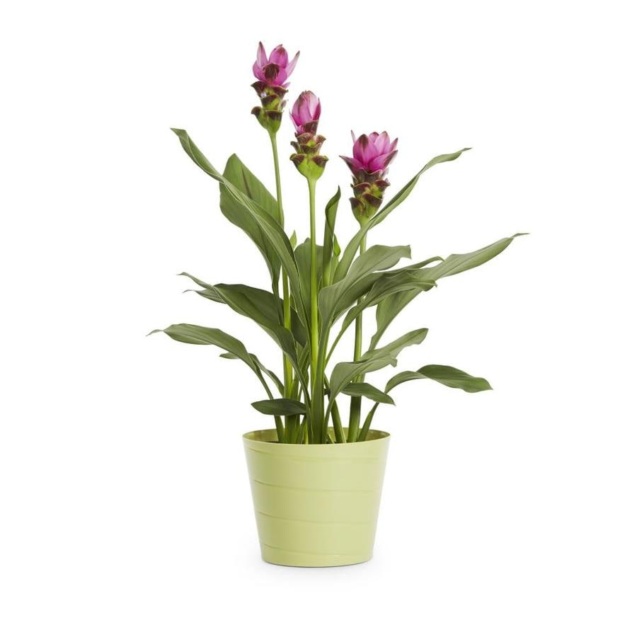 3-Quart Shades Of Summer Curcuma (L24801)