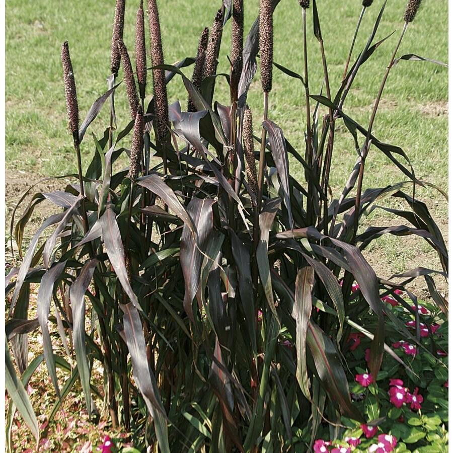 2.5-Quart Purple Majesty Ornamental Millet (L15626)