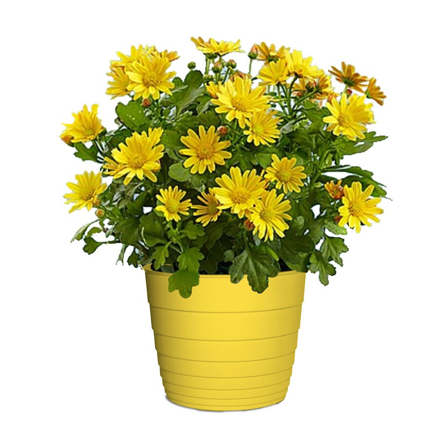 3.00-Quart Chrysanthemum Color Pot