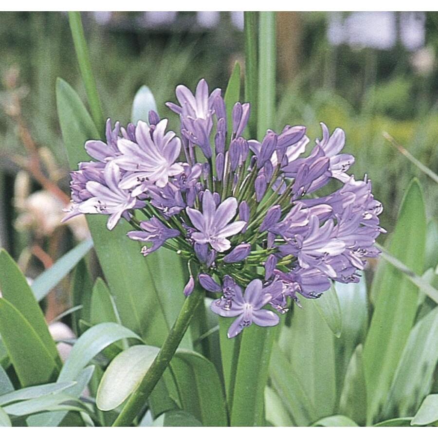 2.5-Quart Lily Of The Nile (L3135)