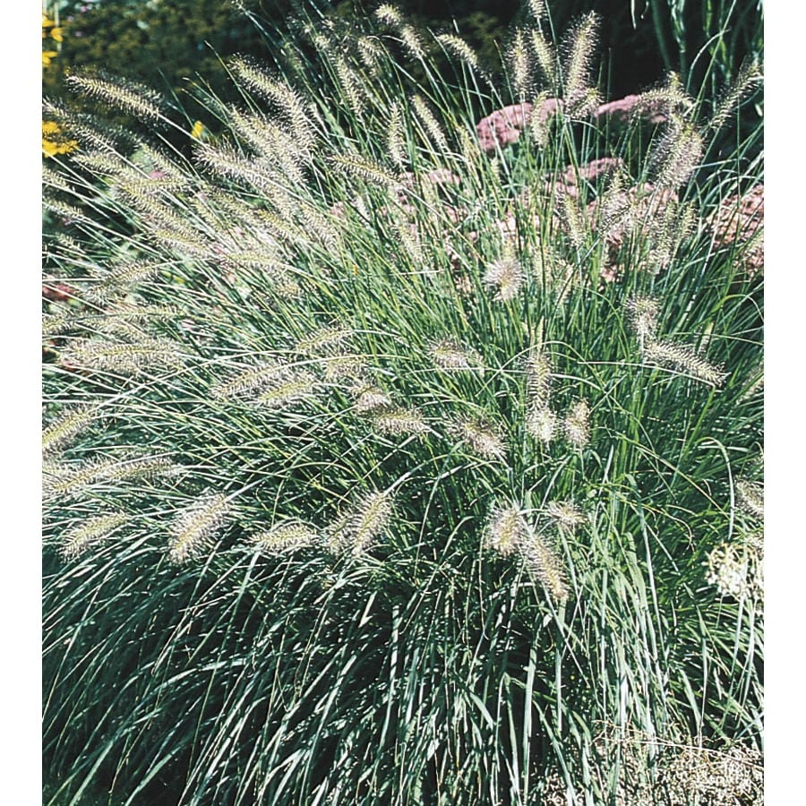3-Gallon Fountain Grass (L4997)