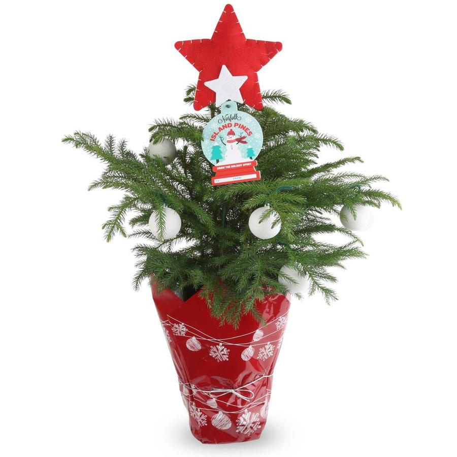 1.4-Quart Norfolk Pine (ARD6)