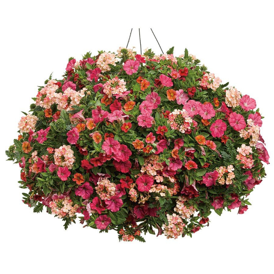 3-Gallon Hanging Basket Mixed Annuals Combinations