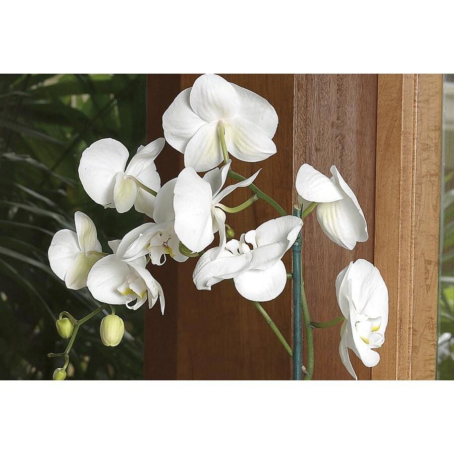 1.5-Pint Phalaenopsis Orchid (L20963HP)