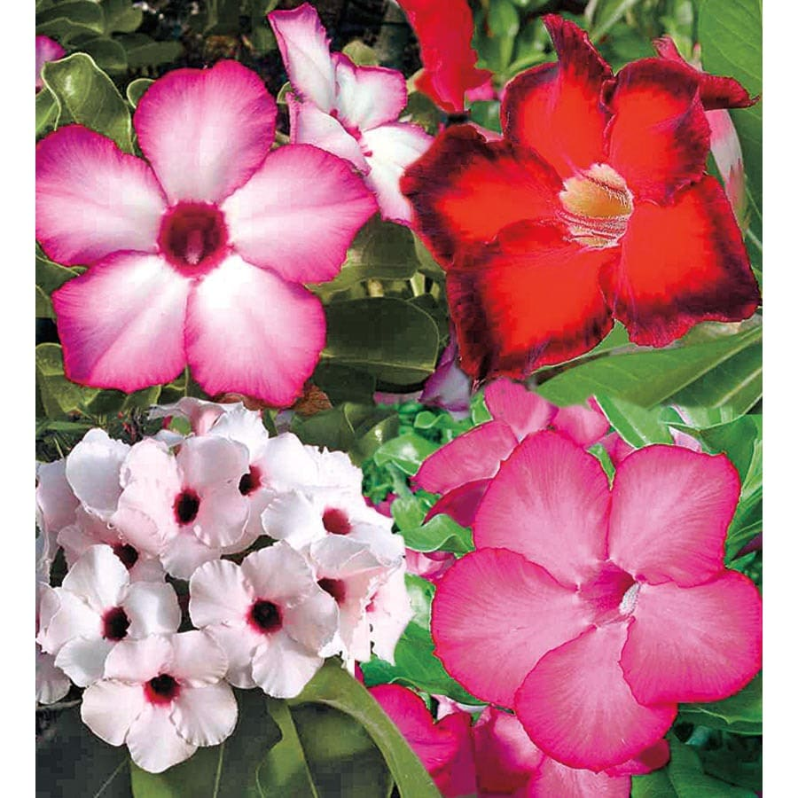1.75-Gallon Bicolor Desert Rose Flowering Shrub (L11232)