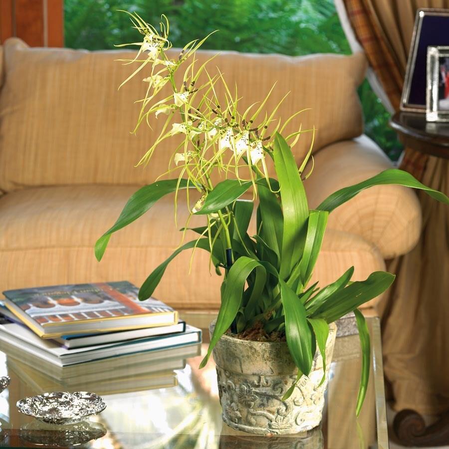 1.06-Pint Oncidium Orchid (L20961HP)