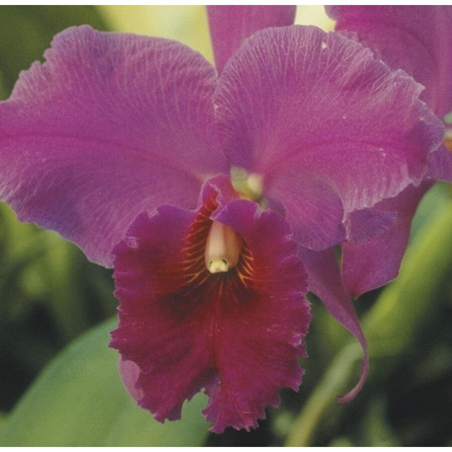1.4-Quart Cattleya Orchid (L04035HP)