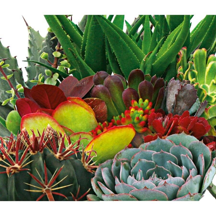 1.25-Quart Succulent Dish Garden (L22996)