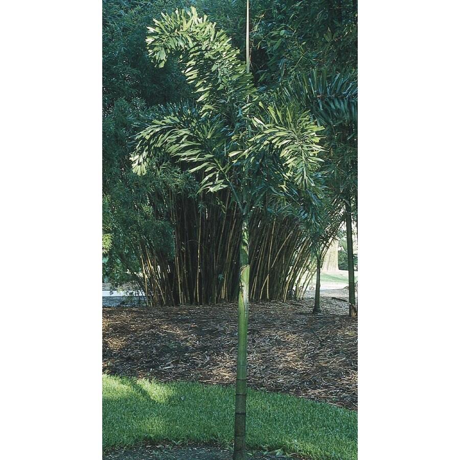 1-Gallon Foxtail Palm (L14531)
