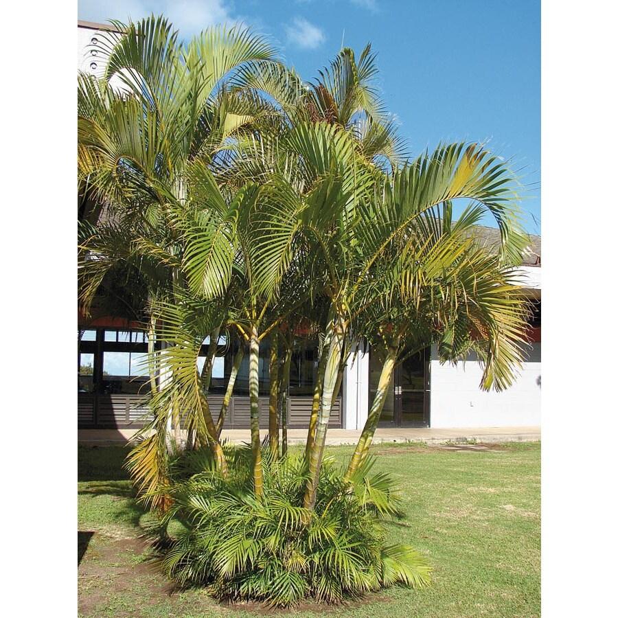 12-ft Areca Palm (LTL0010)