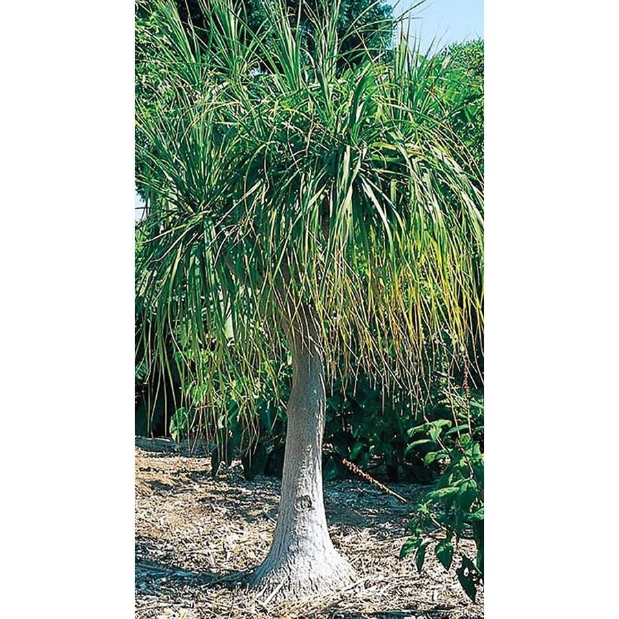 2.25-Gallon White Ponytail Palm Feature Shrub (L9998)