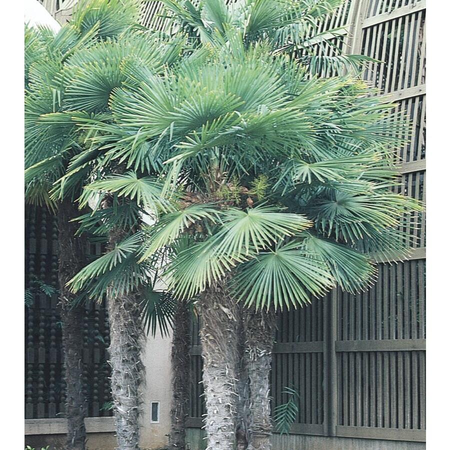 14-Gallon Chinese Windmill Palm (L8803)