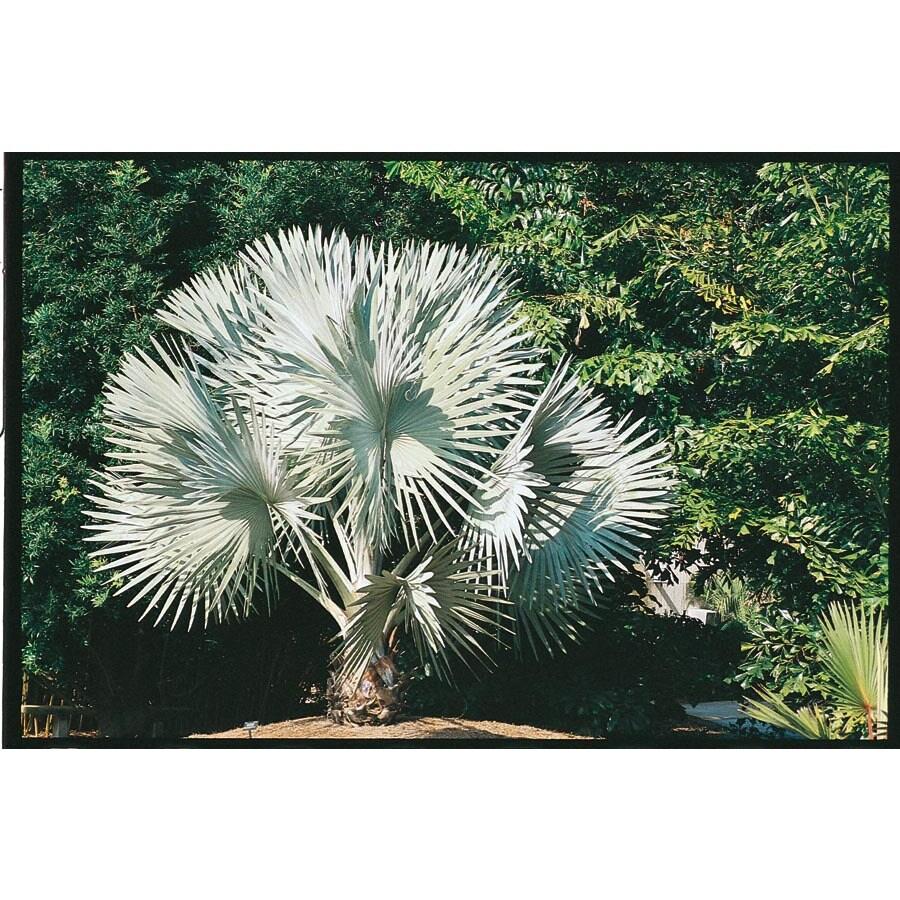 4.5-Gallon Bismarckia Palm (L14163)