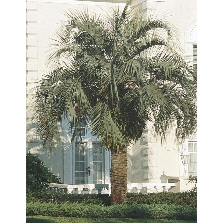 2.3-Gallon Pindo Palm (L6017)