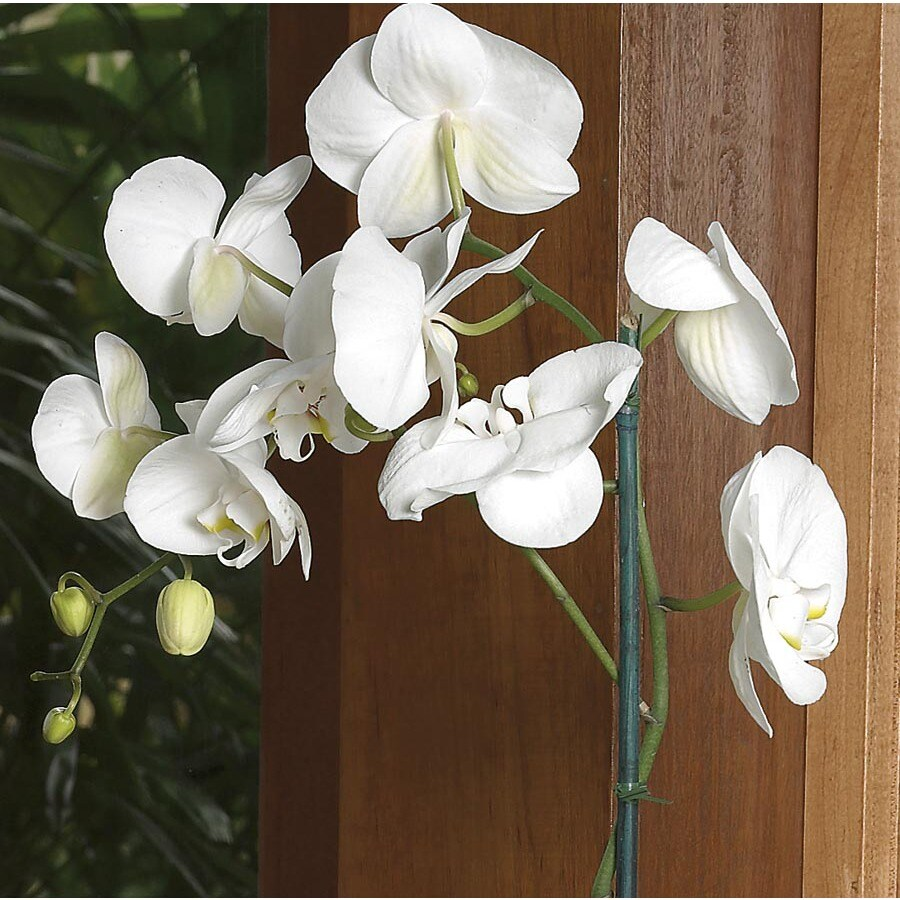1.25-Pint Phalaenopsis Orchid (L20963HP)