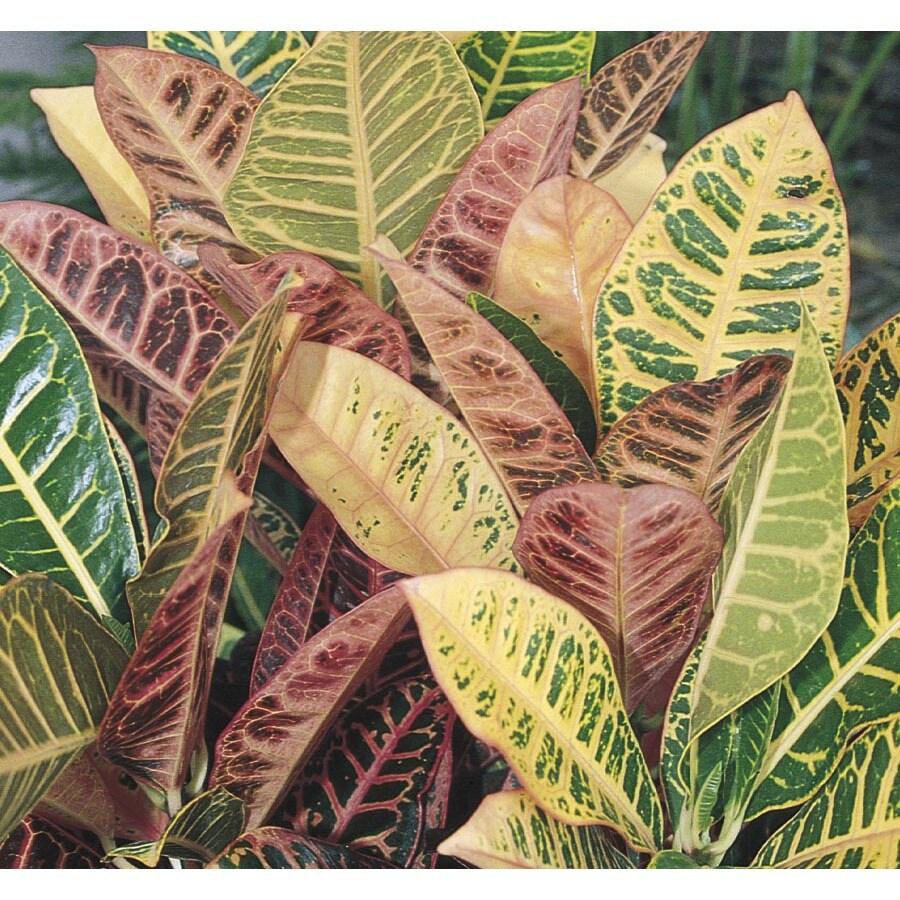 1-Quart Petra Croton (LTL0014)