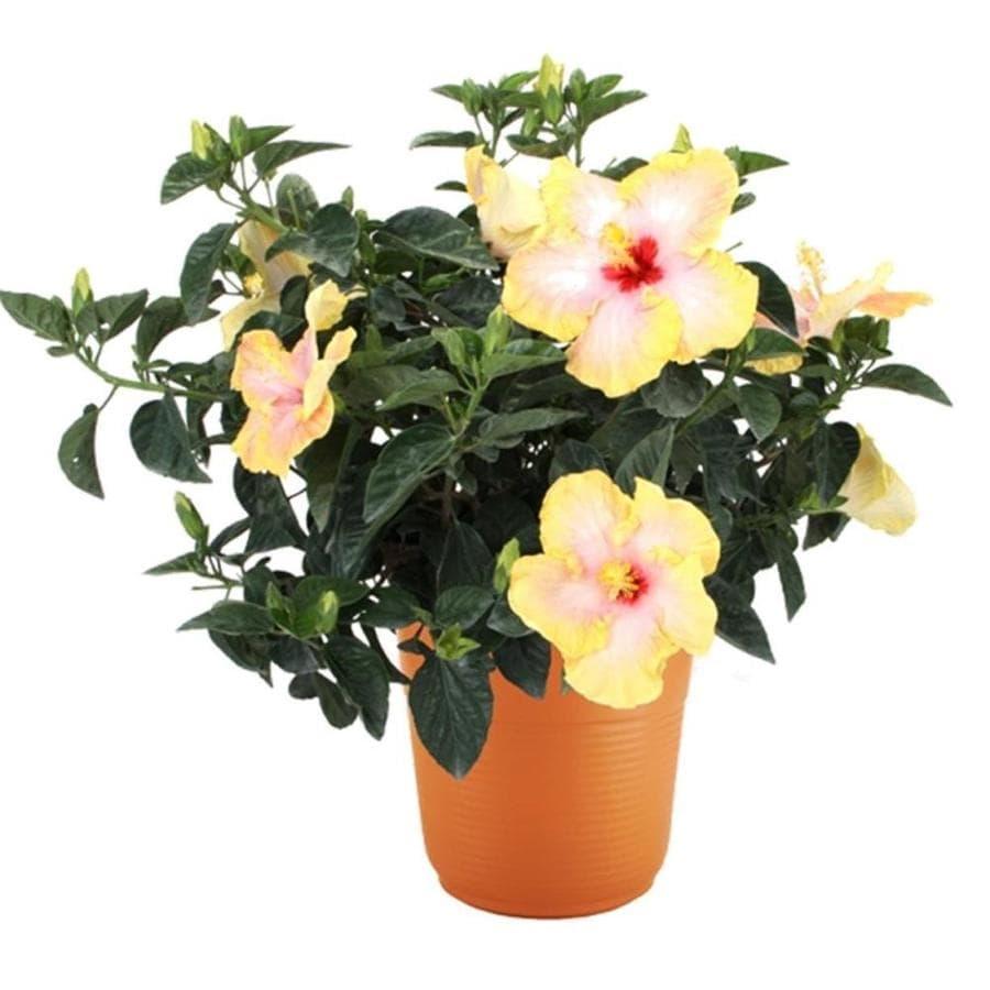 2-Gallon Mixed Hibiscus Flowering Shrub