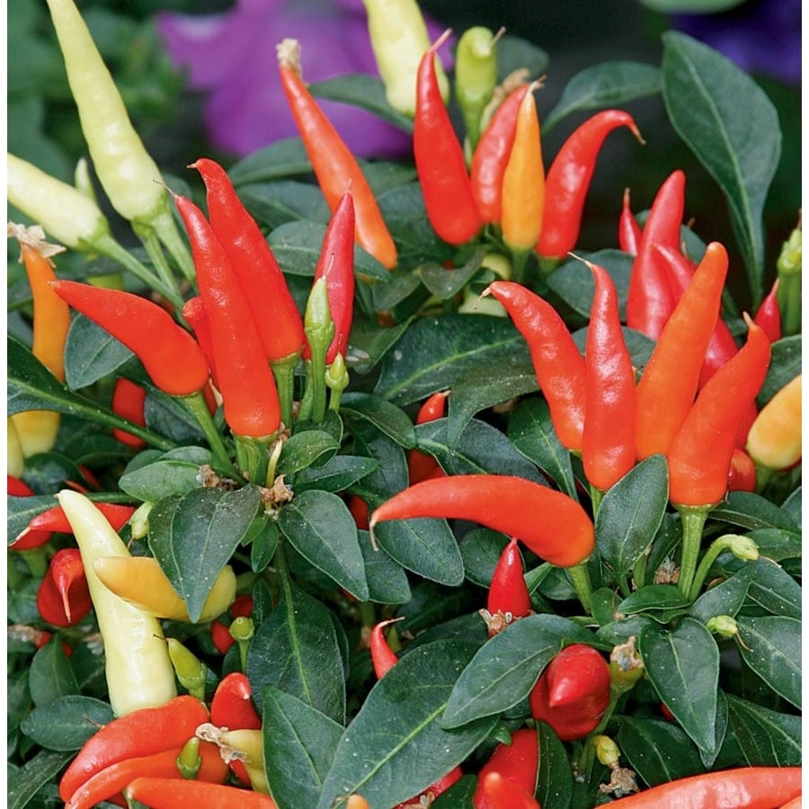 1.25-Quart Ornamental Pepper (L9728)