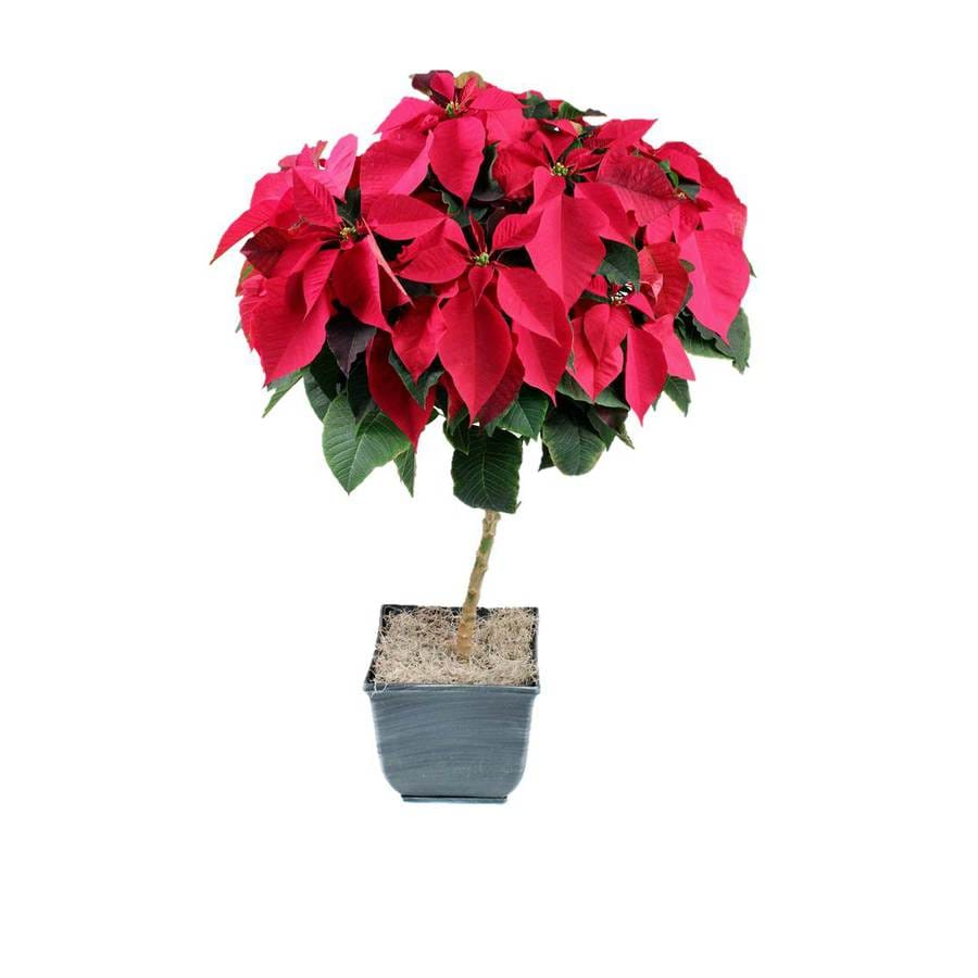 Shop 250 Gallon Poinsettia Tree L22289 At Lowes
