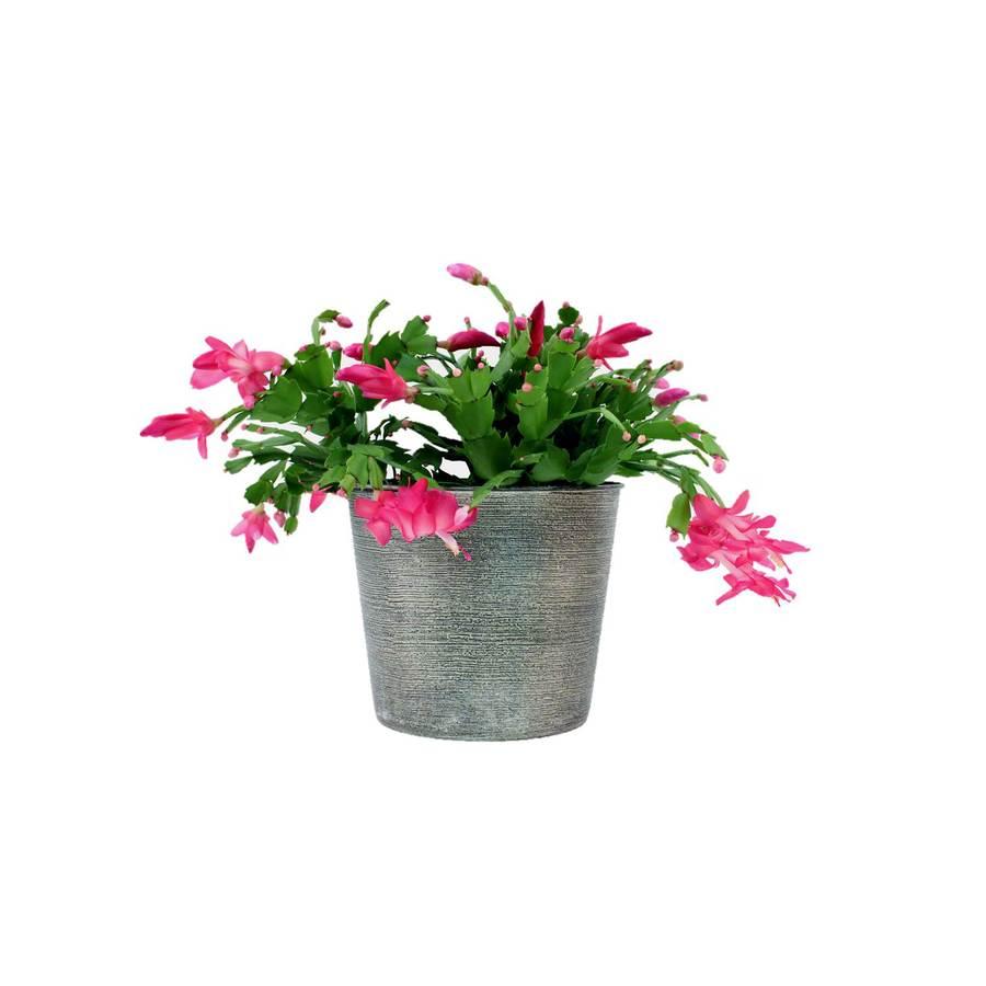 1.25-Quart Christmas Cactus (L22289)