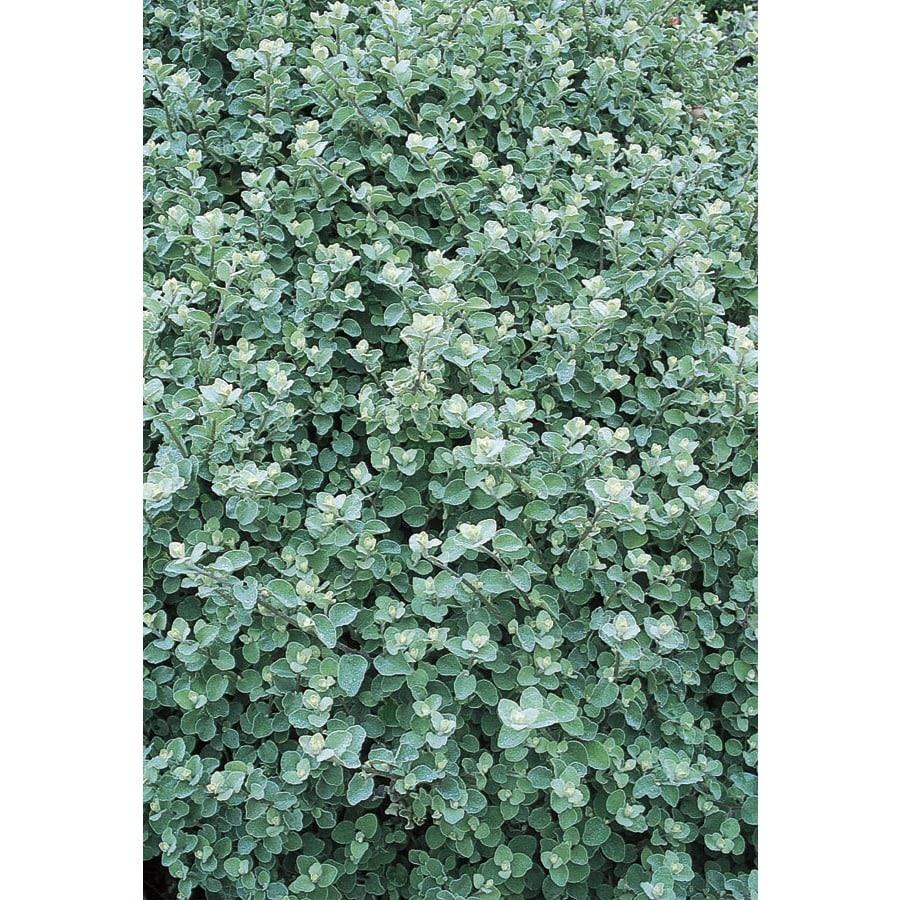 Monrovia 1 Pint Silver Helichrysum (L17140)