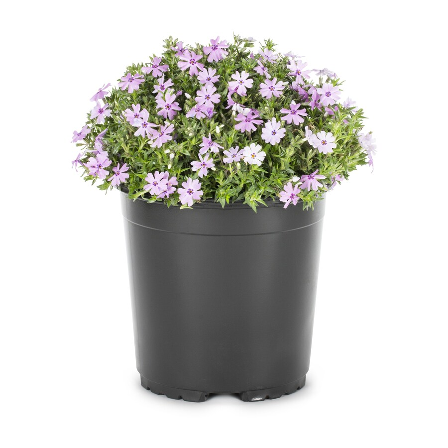 1.25-Quart Garden Phlox (L6680)