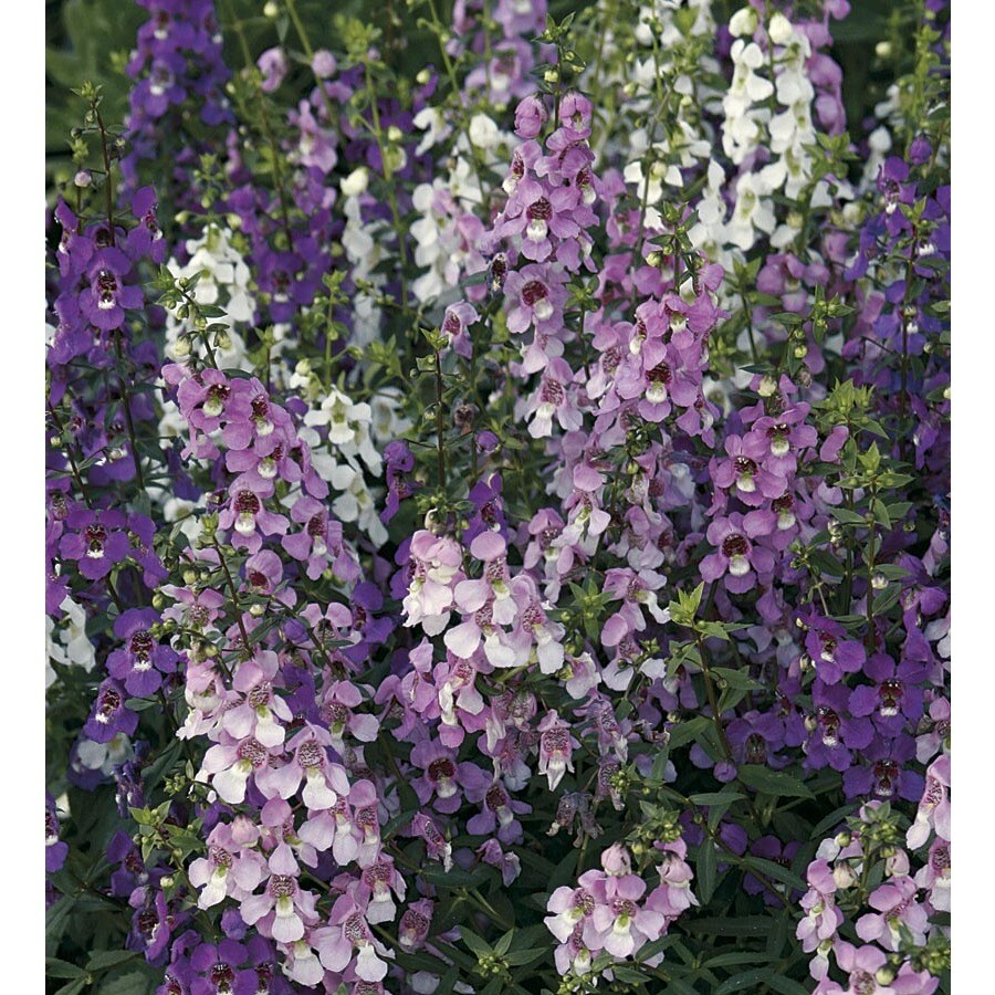 9-Pack Angelonia (L10016)