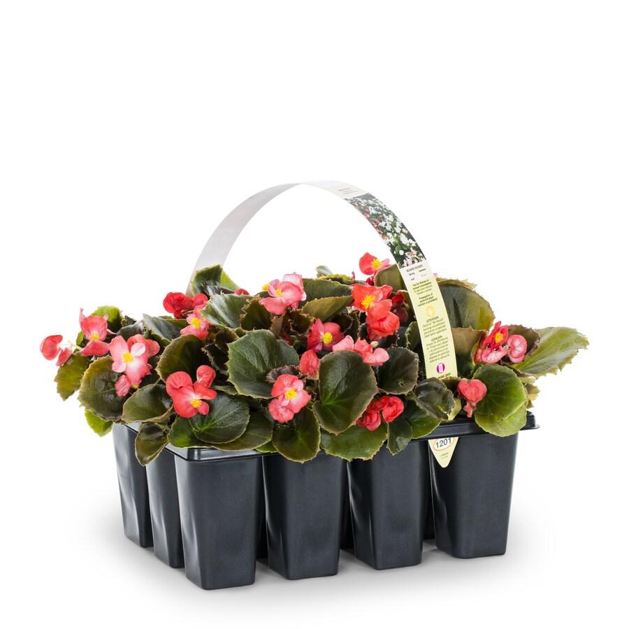 12-pack Begonia (L6589)