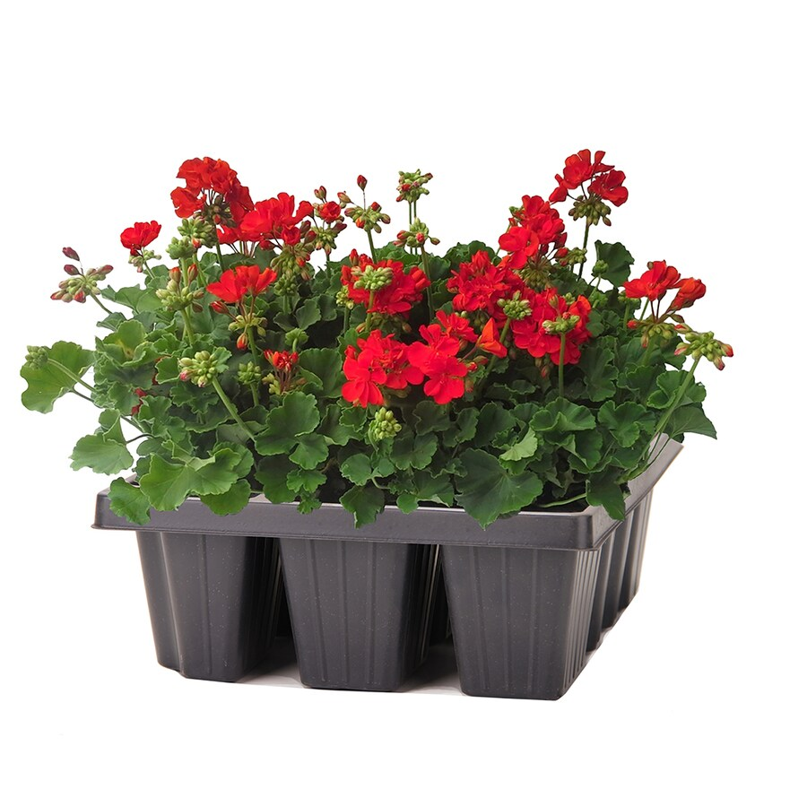 6-Pack Temporary Container Seed Geranium (L17273)