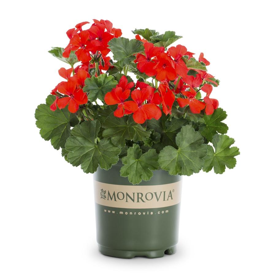 Monrovia 2.5-Quart Geranium (L5450)