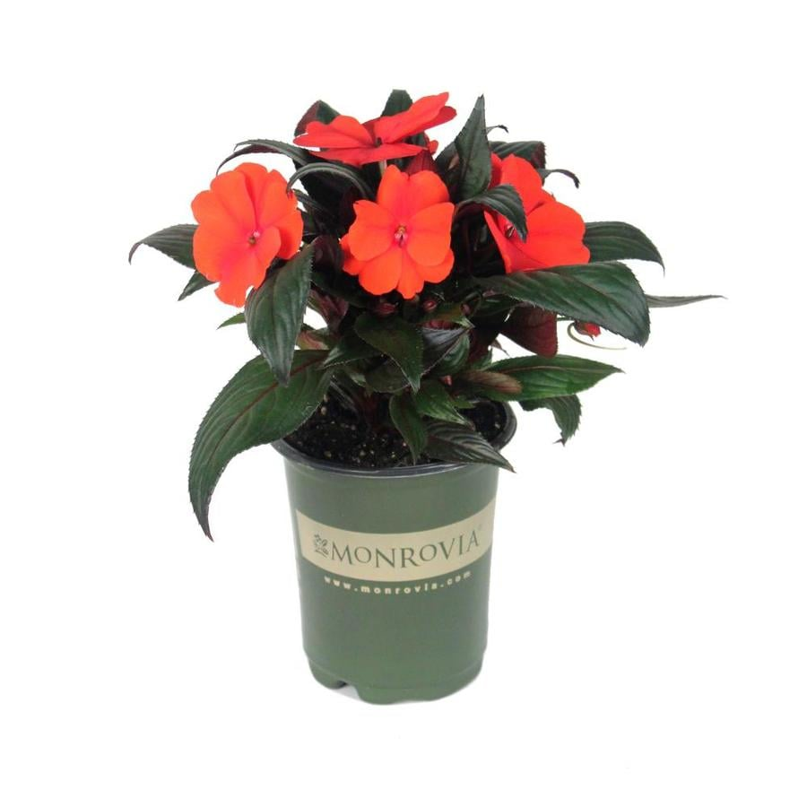 Monrovia 1-Quart New Guinea Impatiens (L3080)