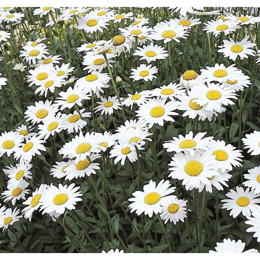 1 Pint Shasta Daisy (L10999)