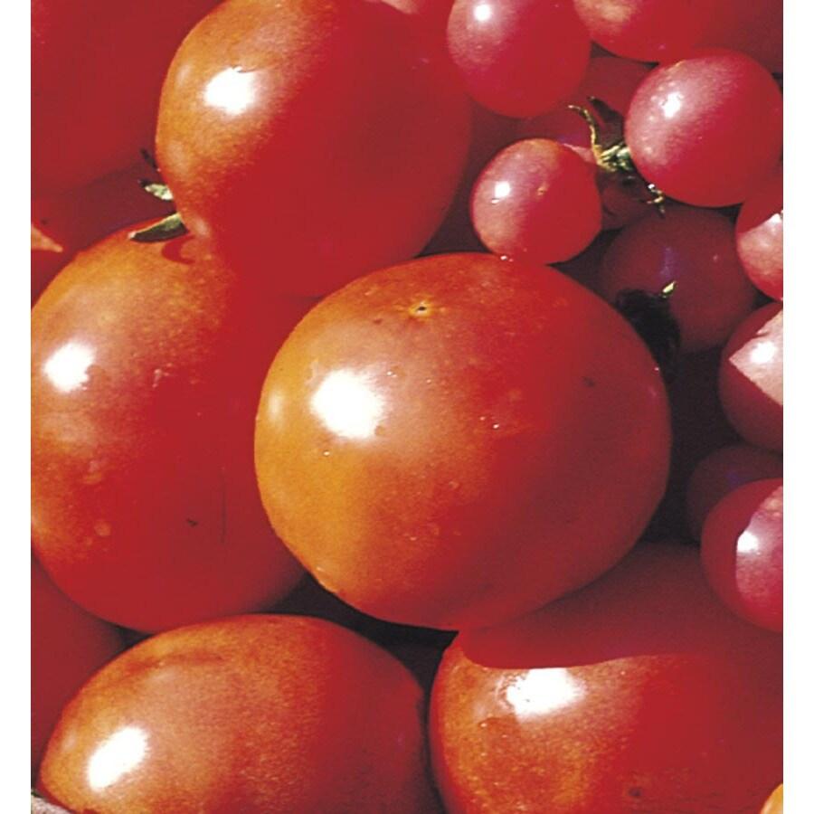 1-Pint Tomato Plant (L14917)