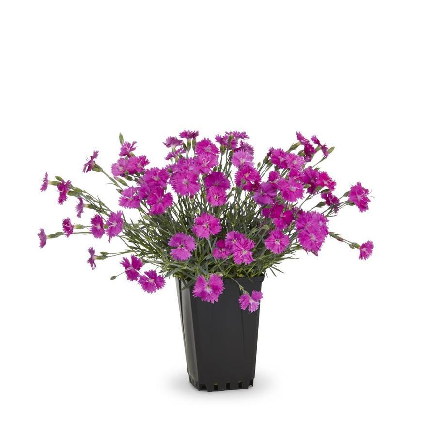 1-Quart Container Dianthus