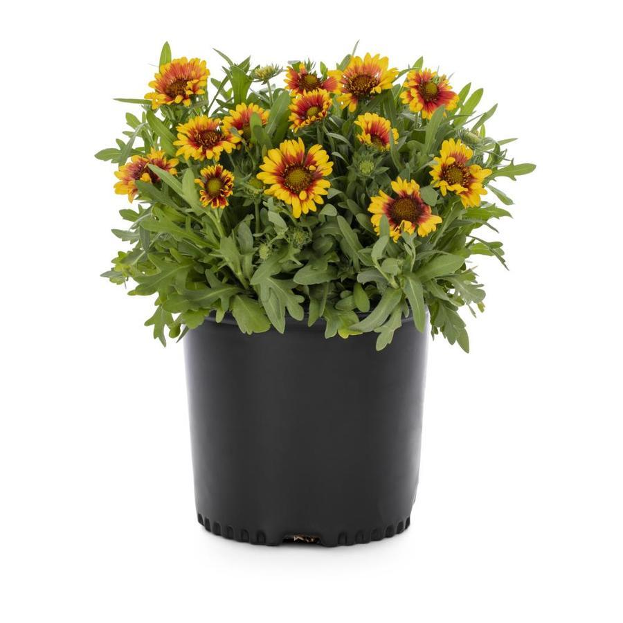 2.25-Gallon Blanket Flower (L10067)